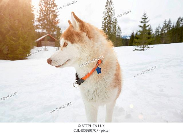 Husky dog in snowy landscape, Elmau, Bavaria, Germany