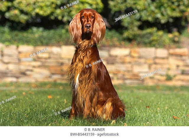 Irish Red Setter, Irish Setter (Canis lupus f. familiaris), 2 years old female, sitting on a lawn, Germany