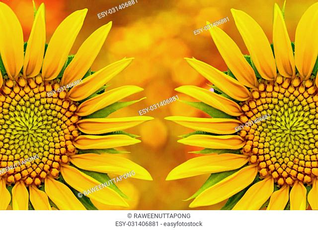 Two sunflower closeup on yellow nature background