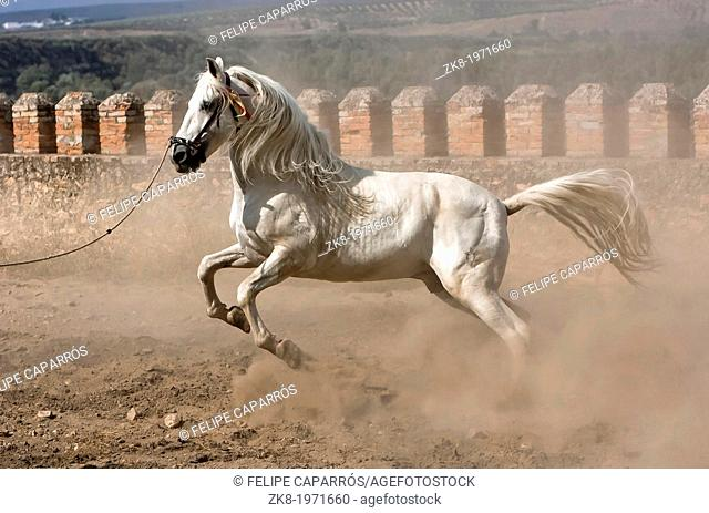 White horse of pure breed Spanish to trotting with the high front legs, Andalusia, Spain
