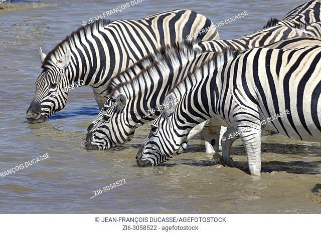 Herd of Burchell's zebras (Equus quagga burchellii) standing in water, drinking, Okaukuejo waterhole, Etosha National Park, Namibia, Africa