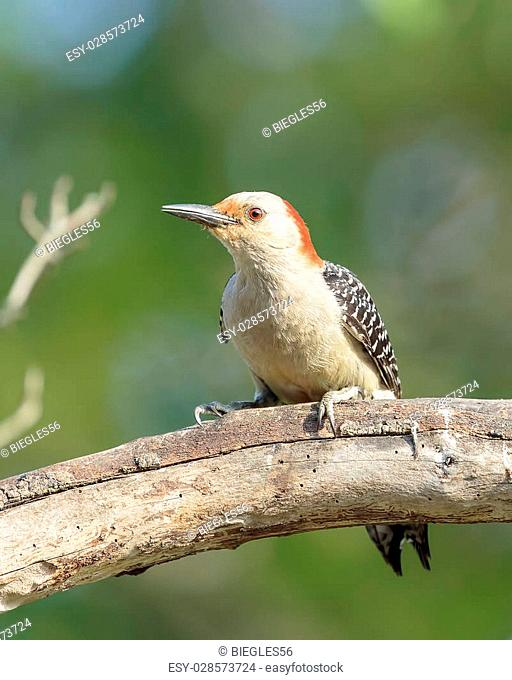 Red Bellied Woodpecker perched in tree