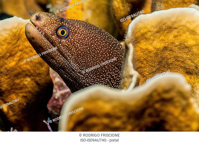 Golden moray eel in coral lair, Cancun, Mexico
