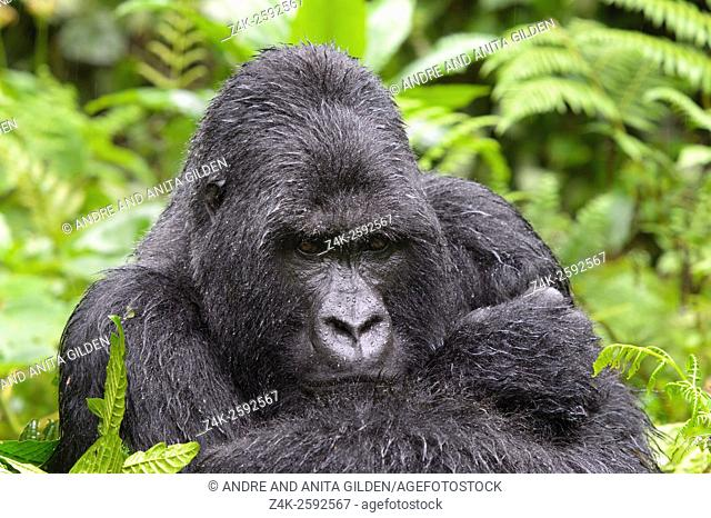 Mountain Gorilla (Gorilla gorilla beringei) large silverback male from the Sabyinyo group, portrait in thick vegetation and rain, looking into camera