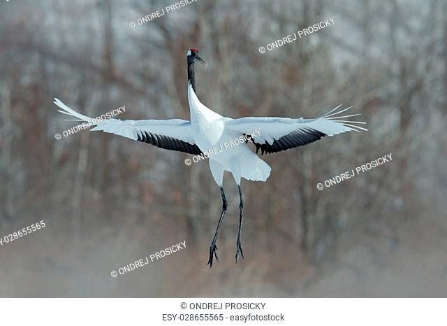 Flying White bird Red-crowned crane, Grus japonensis
