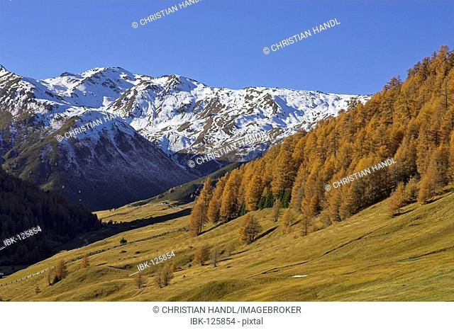 Snow covered mountains above the Rojen valley and larch (Larix) in autumn color, mountain village Rojen (2000m), South Tyrol, Italy