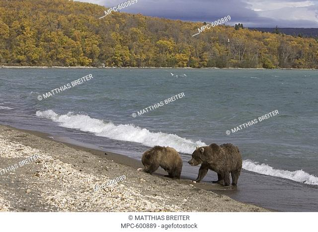 Brown Bear or Grizzly Bear Ursus arctos, adult female with yearling cub feeding on spawned-out salmon along lake's edge in fall, Katmai National Park, Alaska
