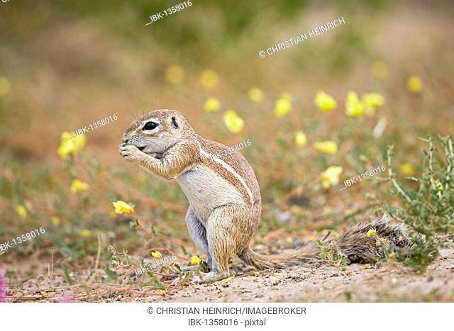 African Ground Squirrel (Xerus rutilus), Mabuasehube Game Reserve, Kalahari Desert, Botswana, Africa