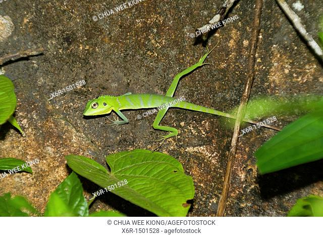 Chamelion Green Crested Lizard from Gunung Garding Sarawak, Malaysia