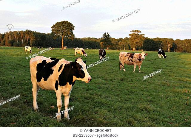 CATTLE-RAISING Domestic cows, picture taken in the Côtes d'Armor in Brittany, France