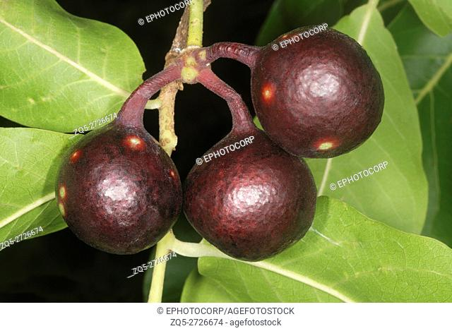Ripe fruit of Miliusa tomentosa. This tree is one of the members of the Dry Deciduous Forests of Central India. The ripe fruit are eaten by local people as well...