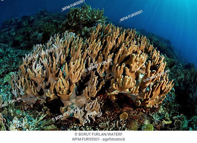Leather Coral, Sinularia sp., Alor, Indonesia