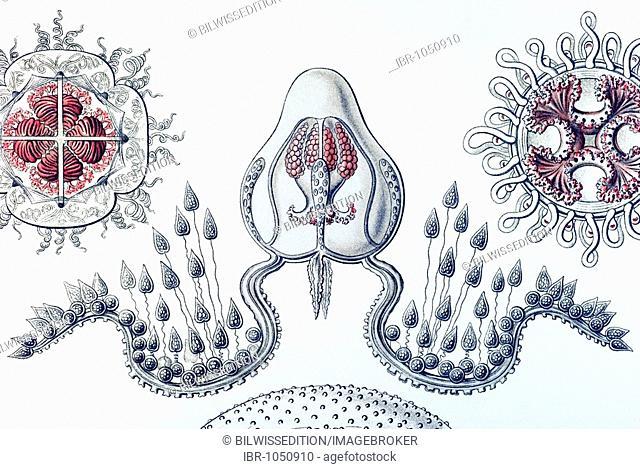 Historic illustration, Jellyfish (Anthomedusae), tablet 46, Ernst Haeckel, Kunstformen der Natur, Artforms of Nature