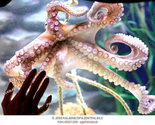 A Common octopus (Octopus vulgaris) at the AquaDom and Sea Life in Berlin, Germany, 30 January 2014. Former boxing world champion Regina Halmich christend the...