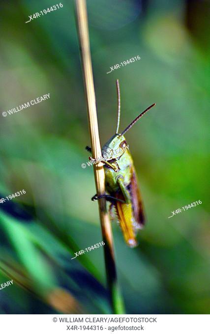 Grasshopper on a stalk of grass in a meadow, County Westmeath, Ireland