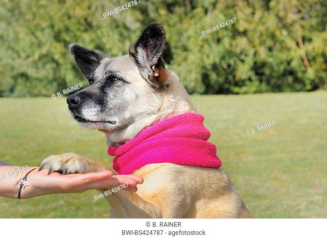 mixed breed dog (Canis lupus f. familiaris), Malinois-mixed breed she-dog with pink scarf sitting in a meadow and giving the paw, Germany