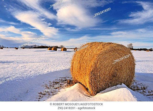 A winter landscape image of uncovered round bales of straw left out in the field for storage in rural Alberta. Canada