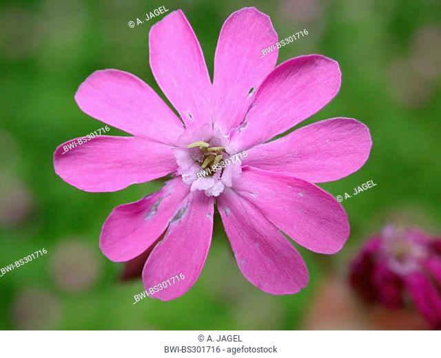 red campion (Silene dioica), male flower, Germany