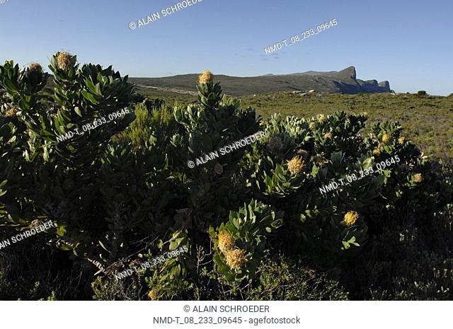 Close-up of a plant in a field, Cathedral Peak, North Drakensberg Mountain, Kwazulu-Natal, South Africa
