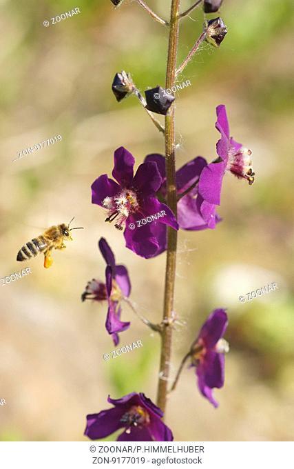 Verbascum phoeniceum, Purple mullein, with bee