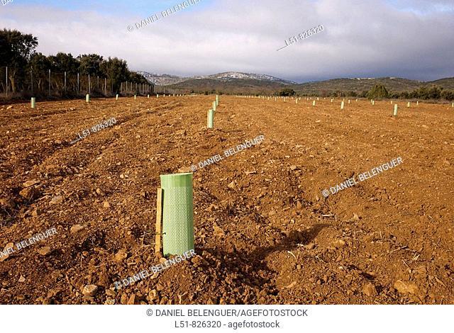 Truffle plantation, El Toro, Castellón, Comunidad Valenciana, Spain, Europe