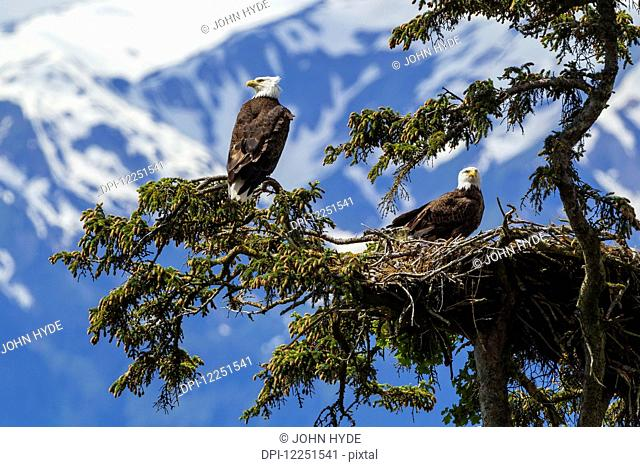 A mated pair of Bald Eagles (Haliaeetus leucocephalus) watch over their newly hatched young in their nest in SE Alaska's Tongass National Forest near Juneau