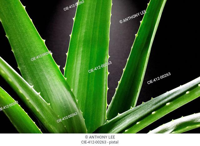 Close up of aloe plant
