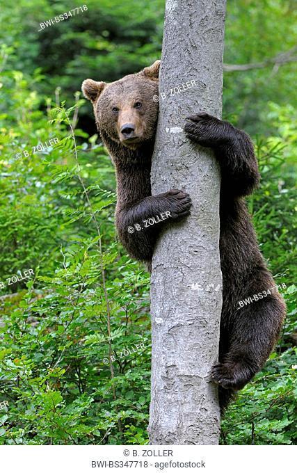 European brown bear (Ursus arctos arctos), climbing up a tree, Germany, Bavaria