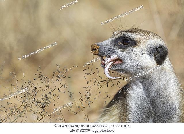Meerkat (Suricata suricatta), adult male at the burrow, feeding on a gecko, alert, Kgalagadi Transfrontier Park, Northern Cape, South Africa, Africa