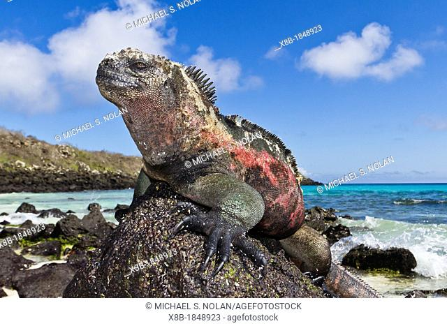 The endemic Galapagos marine iguana Amblyrhynchus cristatus basking in the sun on Gardner Beach, Santiago Island in the Galapagos Island Archipelago, Ecuador