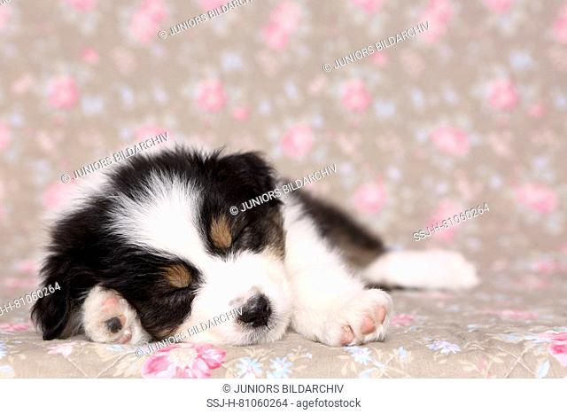 Australian Shepherd. Puppy (6 weeks old) sleeping. Studio picture seen against a floral design wallpaper. Germany
