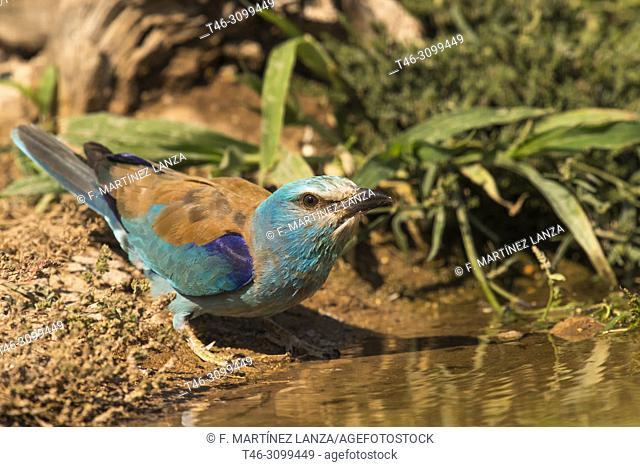 Carraca europeaâ. &lt, (Coracias garrulus). Drinking a pond photographed in Villacañas Castilla la mancha, Spain