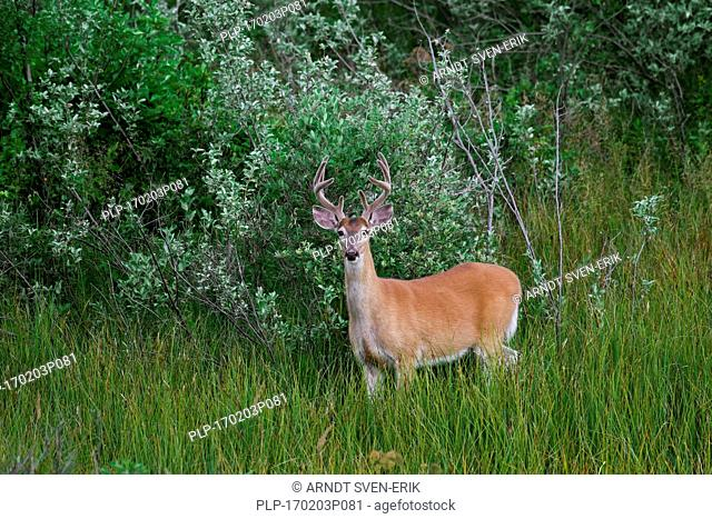Whitetail deer / white-tailed deer (Odocoileus virginianus), buck with antlers covered in velvet in summer, Canada
