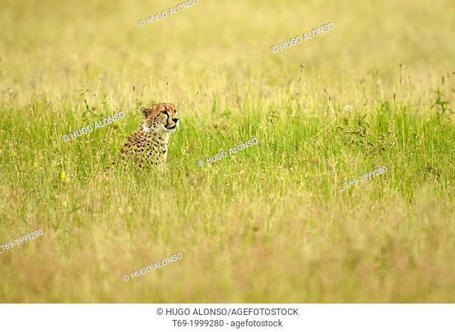 Cheetah in the grassland. Acinonyx jubatus