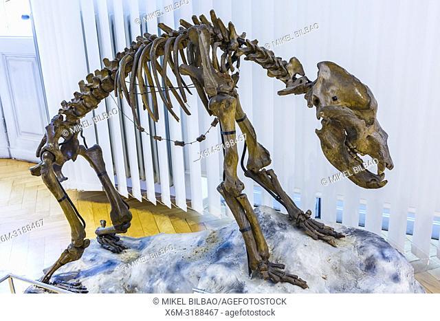 Cave bear skeleton (Ursus spelaeus). National Museum of Slovenia. Ljubljana. Slovenia, Europe