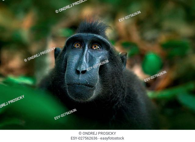 Celebes crested Macaque, Macaca nigra, black monkey