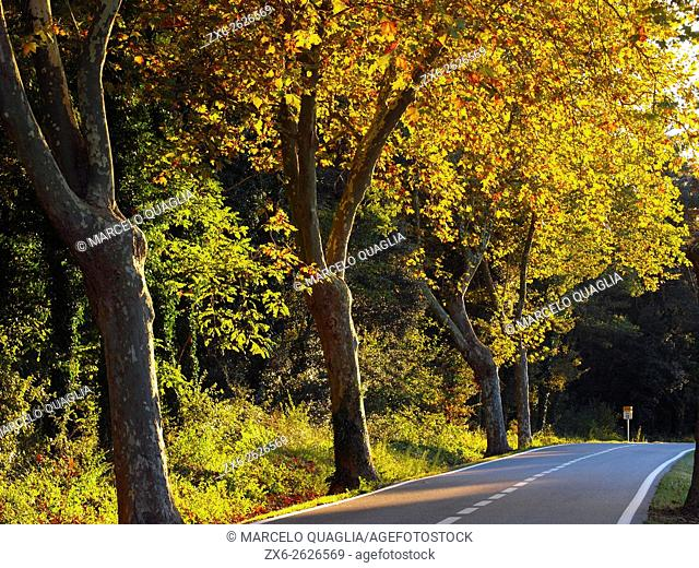 Plane trees (Platanus x acerifolia). Autumn at Viladrau village countryside. Montseny Natural Park. Barcelona province, Catalonia, Spain
