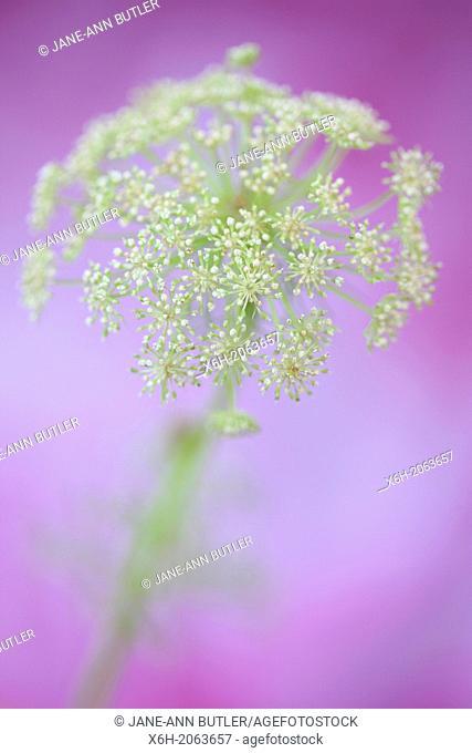 the gorgeous ammi flower on purple