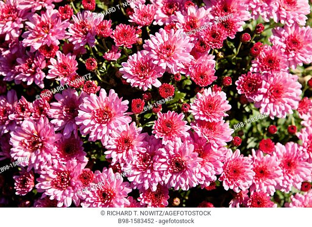 Pink Chrysanthemums, often called mums or chrysanths at Brookside Garden, Montgomery County, Maryland