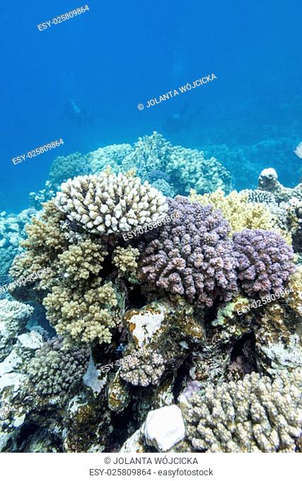 colorful coral reef with divers at the bottom of tropical sea