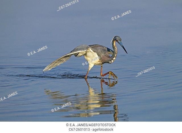 Tri-coloured Heron Egretta tricolour catching fish in lagoon Fort Myers Beach Florida USA