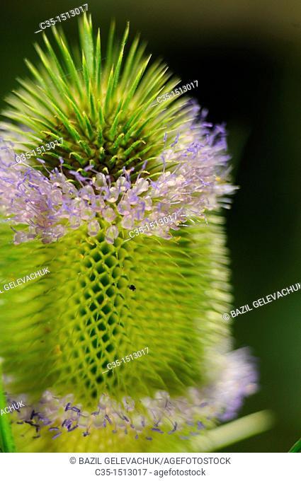 flover prickly grass