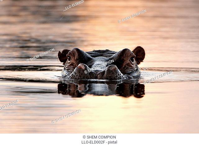 Large Hippo Hippopotamus amphibius Emerging from Water  Okavango Delta, Botswana, Africa