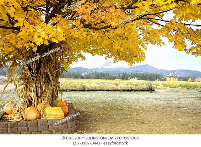 Pumpkins and corn stalks under a tree with yellow leaves