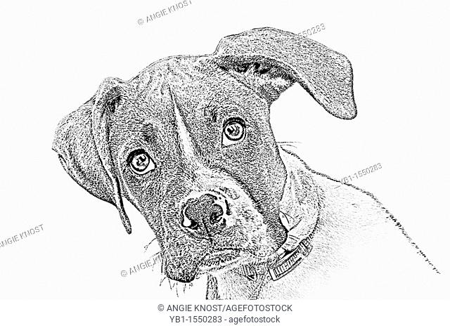 Sketch style portrait of a Boxer puppy