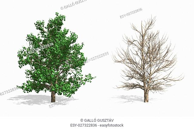 Stewartia trees, isolated on white background