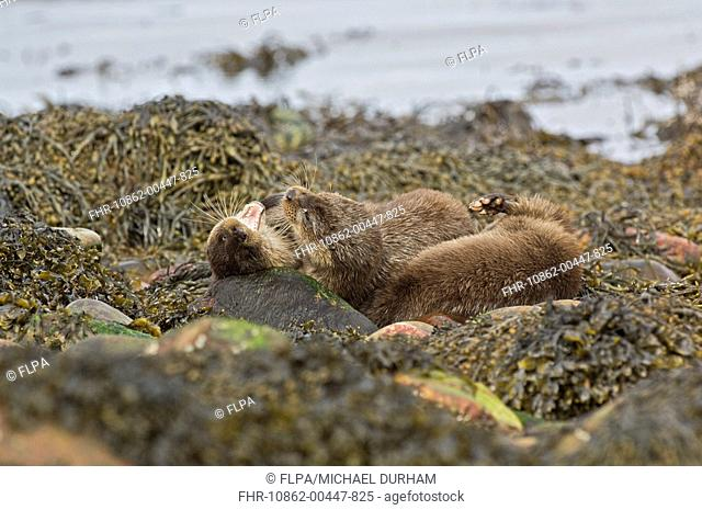 European Otter Lutra lutra young, play-fighting, on seaweed covered coastal rocks, Islay Sound, Islay, Inner Hebrides, Scotland, spring
