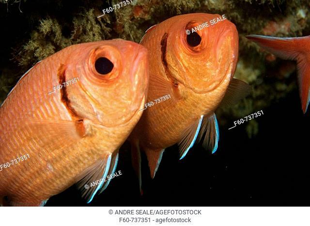 Two blackbar soldierfish, Myripristis jacobus, Ilha Escalvada, Guarapari, Esp'rito Santo, Brazil