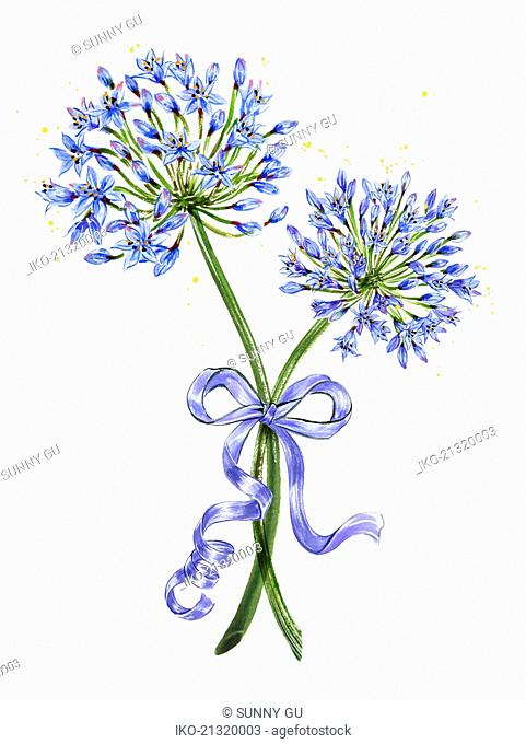 Two agapanthus stems tied with ribbon