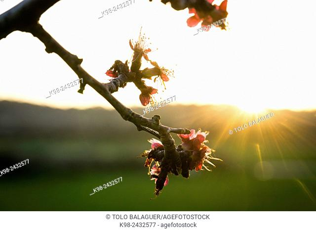 Apricot tree, Prunus armeniaca, Porreres, Mallorca, balearic islands, spain